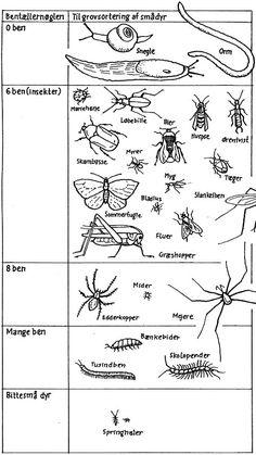 Bentællernøglen kan du bruge, når du skal grovsortere smådyr. Brug en opslagsbog til at finde ud af hvad dyrene hedder, hvordan de lever osv. Tegning: Eva Wulff.