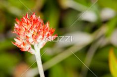Small Sunset Flower - A small flower whose petals are small and leaf-like, all are the color of flaming red, hazy orange, and bright yellow.