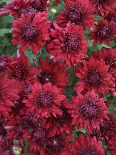Mum Ruby Mound -- Bluestone Perennials defd142e05e0