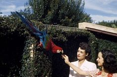 Two women give food to a red and green macaw in a city garden in Brazil, 1944.Photograph by W. Robert Moore, National Geographic Creative