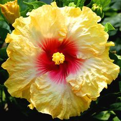 Exotic Hibiscus 'San Diego Sun' from Hidden Valley Hibiscus