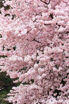 .#sakura #pink àblossoms, #japan