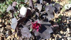 Black-Leaved, Ornamental Cotton - 10 cotton seeds per pack