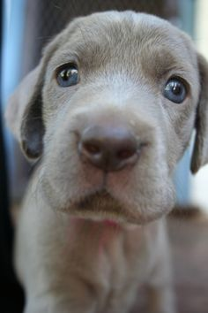 Weimaraner Pup ~ Classic Look Cute Puppies, Cute Dogs, Dogs And Puppies, Doggies, Mundo Animal, My Animal, I Love Dogs, Puppy Love, Blue Pitbull