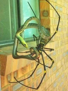 This spider is from the genus Nephila and was photographed in Australia...it also eats birds.