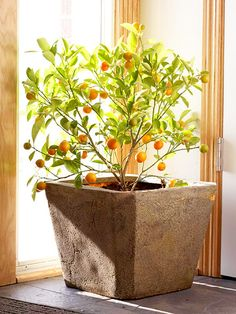 I would love a Calamondin Orange Tree for inside