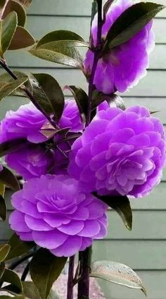 So, my friend asked me about dark purple flowers (she has always been a purple girl). I mentioned the few that I could remember immediately Beautiful Flowers Wallpapers, Beautiful Rose Flowers, Wonderful Flowers, Flowers Nature, Exotic Flowers, Pretty Flowers, Flowers Garden, Flor Magnolia, Dark Purple Flowers