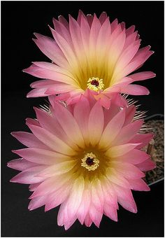 ✯ Lovely Pastel Pink & Yellow Cactus Flowers