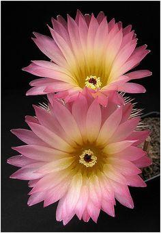 **Pastel Pink & Yellow Cactus Flowers