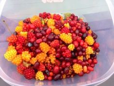 Wild Berry Foraging - Vegan Nom Noms Does America: Anchorage, Alaska