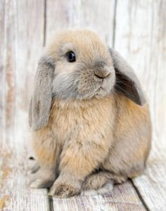 Mini Lop Rabbits For Sale Near Me : rabbits, Holland, Rabbits, Angeles,, Bunnies,, Bunny, Pictures,