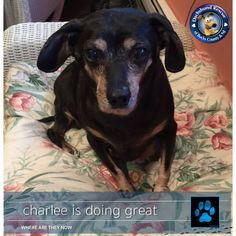 Look who just checked in with DRBC...it's Charlee. This little girl was in a bad way when she made her way to DRBC. The shelter was so full that she had to wait on the front steps for her euthanasia. The animal control officer that sat with her made good use of her cell phone that day and within minutes Charlee was on her way to DRBC. Today she is happy and loved.