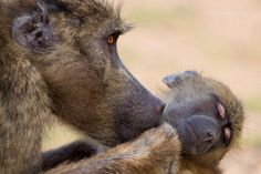 "Africa | ""Almost Human"". A female Chacma Baboon (Papio ursinus) grooming her infant.  