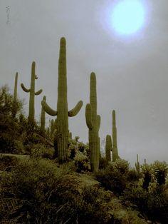 Saguaros in the Sonoran desert