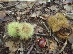 Chestnut outers make great hedgehogs, just add eyes.