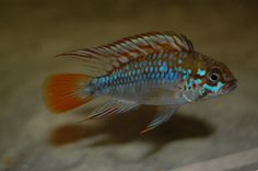 Apistogramma Algodon / dwergcichlide | Aquarium vissen database | gdaquarium