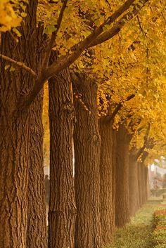Ginkgo Trees / 銀杏 by avirus, via Flickr
