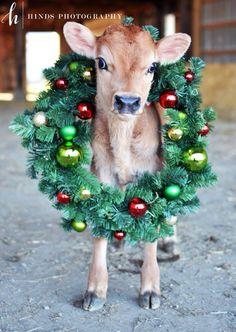 39 Ideas dairy farm photography calves for 2019 Cute Baby Cow, Baby Cows, Cute Cows, Christmas Farm, Christmas Horses, Christmas Animals, Christmas Ideas, Merry Christmas, Cow Photos