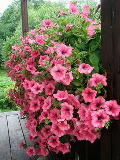 pink petunias great for hanging baskets or containers