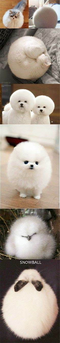 Snowball?  Is that you?  ~~ Houston Foodlovers, lover of all types of round, white animals.
