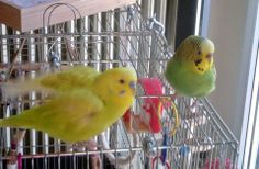 My budgerigars