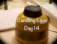 Candling Incubated Eggs-Day 14