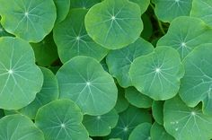 #green leaves like Round lily pads.
