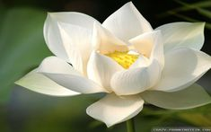 White Lotus Flower Wallpaper HD #811k ~ EasyOffer.net