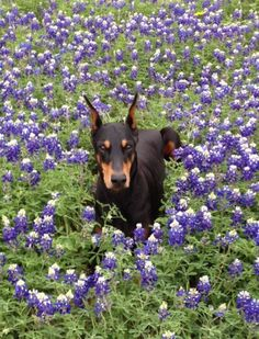 #Doberman in flowers