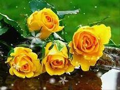 """""""Yellow rose of Texas"""" * Garden of Dreams All Flowers, Types Of Flowers, Amazing Flowers, Beautiful Roses, How Beautiful, Beautiful Flowers, Flowers Pics, Beautiful Things, Beautiful Butterflies"""