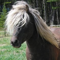 Icelandic horse. Quite possibly the most practical breed for where I live.