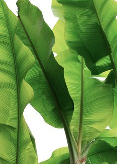 Botanical Print - Full Page Leaves - Green - Plant / Tropical / Leaf / Jungle Tropical Leaves, Tropical Flowers, Tropical Plants, Tropical Decor, Foto Poster, Fresh Green, Bright Green, Green Plants, Leafy Plants