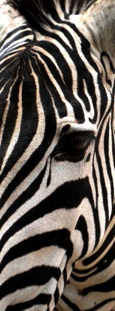 zebra by KingMcBenz . on 500px