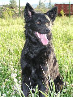 Ein Kroatischer Schäferhund