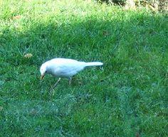 AlbinoMerel