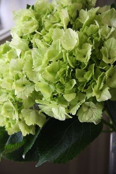 hydrangea Noblesse green