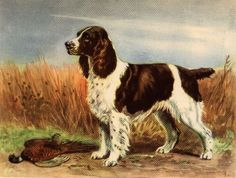 "Spaniel-like dogs have existed centuries, dogs of this type thought to have originated in Spain and possibly introduced to ancient Britons by Roman legions. The first of the Springer Spaniels were land spaniels that evolved in the latter part of the 14th century, and from 16th and 17th century art work, we know that dogs similar to today's English Springer Spaniel (some with docked tails) were used to hunt both feathered and fur bearing animals. They flushed game birds by ""springing"" at…"