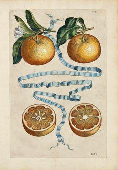 Giovanni Battista Ferrari's masterpiece Hesperides, sive, De Malorum Aureorum cultura etusa Libri Quatuor. This work of citrus was published in Rome in 1646.