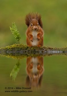 Red Squirrel Reflection - Scottish Red Squirrel, reflection in a pool