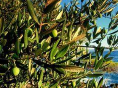 sonicka.j / Olivový strom