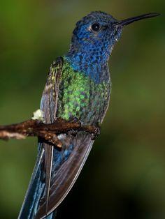 Foto beija-flor-tesoura (Eupetomena macroura) por Pedro Perez | Wiki Aves - A Enciclopédia das Aves do Brasil