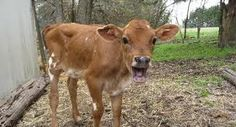 My farms gonna be crawling with jerseys!! I'm so excited!! Look at this face!! I love my farm life!