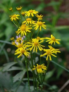 "Packera aurea  ---  Golden groundsel has profuse yellow daisies in late April to mid June. Vigorous & tough, it forms showy drifts. Likes moist, shady spots, but very tolerant. Good under trees. Native food source for bees. About 8-12"" foliage, 18-24"" in bloom, by 12"" wide. z. 3-9"