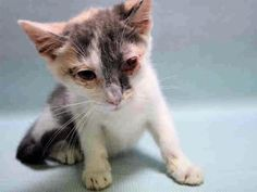 UNIQUA - A1126260 - - Manhattan  ***TO BE DESTROYED 09/27/17***  UNIQUA and DOUG (also listed tonight) are part of a group of kittens who were brought in because finder couldn't keep.  They both have bad URIs and need some follow up vet care.  Why not adopt this pair of cuties tonight?  MUST RESERVE BY NOON!! -  Click for info & Current Status: http://nyccats.urgentpodr.org/uniqua-a1126260/
