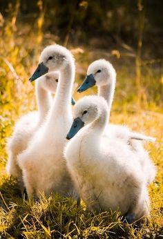 Cute cygnets