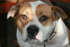 Princess is an adoptable English Bulldog Dog in Lithia, FL. For information on Princess contact foster mom Donnie @ email dpm1969@myway.com  or 813-343-8344  This is Princess! What a complete love bug...