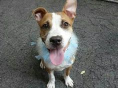 TO BE DESTROYED - 09/05/14 Manhattan Center -P  My name is PETER PAN. My Animal ID # is A1012459. I am a male brown and white pit bull mix. The shelter thinks I am about 9 MONTHS old.  I came in the shelter as a STRAY on 08/30/2014 from NY 10458, owner surrender reason stated was STRAY.https://m.facebook.com/photo.php?fbid=865790036767210&id=152876678058553&set=a.611290788883804.1073741851.152876678058553&source=43&ref=stream