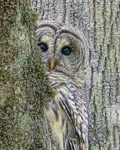 Barred Owl Peek A Boo Photo By ©Jennie Marie Schell  #wildlives
