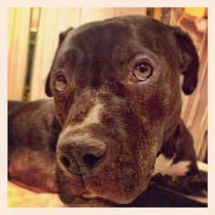 Pedro: young black lab retriever / pit bull mix in NYC looking for a home