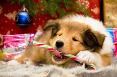 15 best Christmas Dogs Wallpapers images on Pinterest | Christmas ...